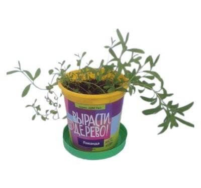 Набор для выращивания растений Вырасти дерево! Лаванда